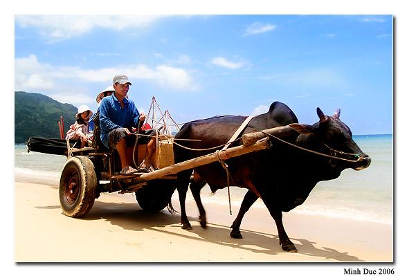 Cộ bò ở Phú Yên